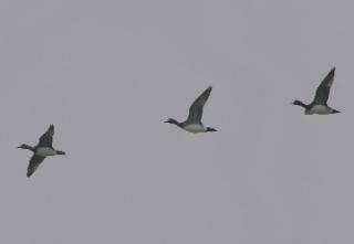 飛ぶヒドリガモ(鵲)