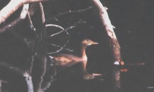 カイツブリ(鵲)