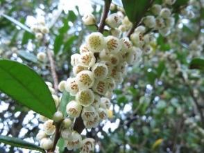 ハマヒサカキの花(田)