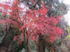 紅葉真っ盛りのイロハモミジ(田)