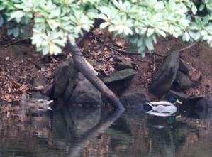 山中の池、マガモ(鵲)