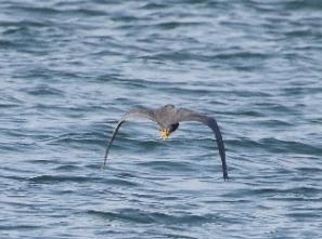 190128006 海面近くを飛ぶクロサギ(鵲)