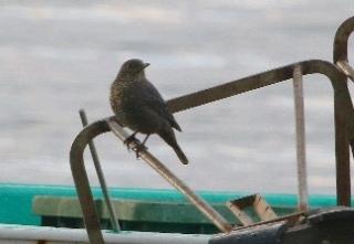 190128010 イソヒヨドリ(鵲)