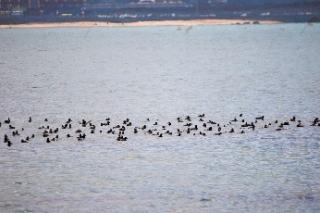 190128019 ホシハジロの群れ(鵲)