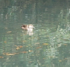 190128018 池で見かけたコガモ♀(田)