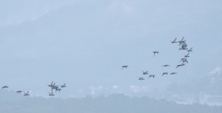 190128020 ホシハジロの飛翔(位)