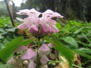 190128041 オドリコソウの花(田)