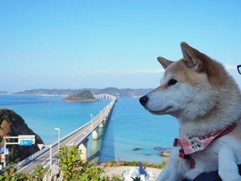 角島大橋とさくら