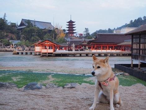 厳島神社をバックに