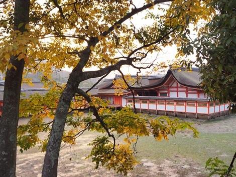 銀杏と厳島神社