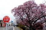 地蔵の辻の桜
