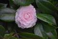 30秋ピンクの椿