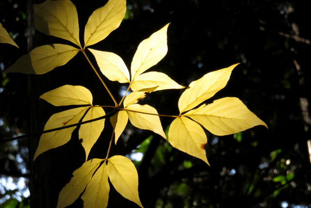 黄葉したタカノツメ