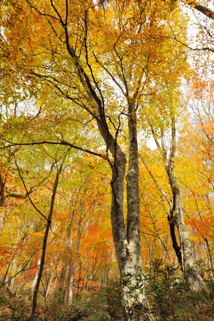 氷ノ山_紅葉した氷ノ山越えの登山道_紅葉したブナの森