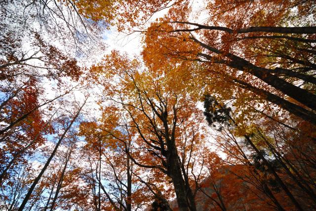 氷ノ越の紅葉したブナの森へ下る