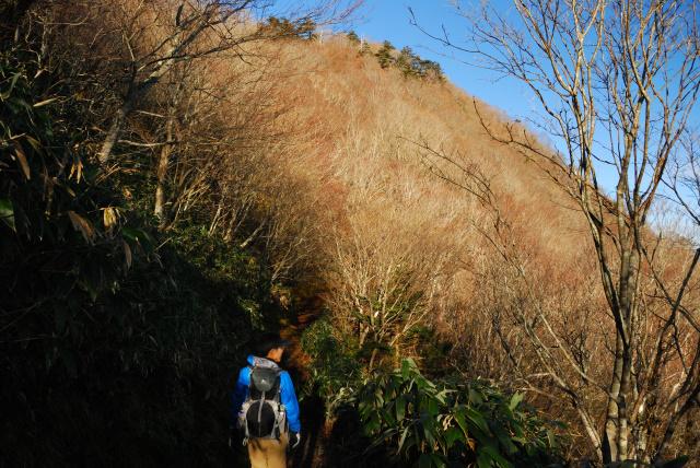 土小屋ルート登山道_ブナとカエデの木立