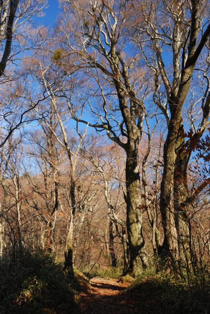 八丁坂のブナの森