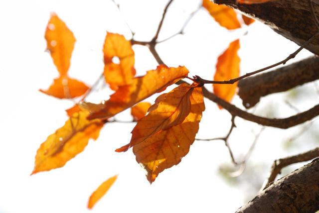三草山_コナラの黄葉