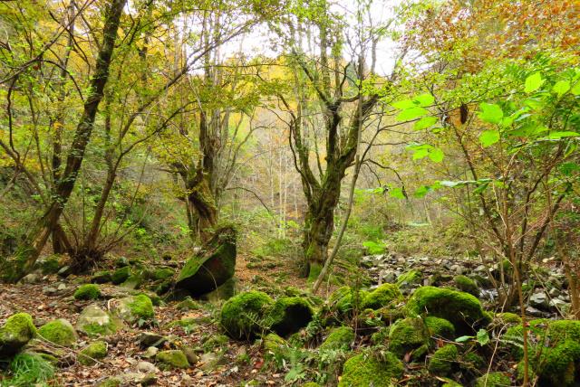 蘇武岳_巨樹の谷の入口_夫婦カツラの樹①