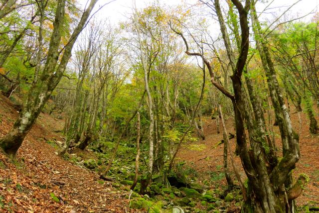 蘇武岳_巨樹の谷の登山道