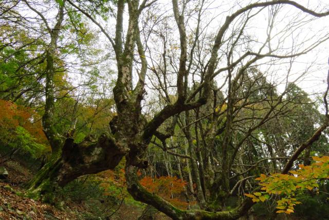 蘇武岳_巨樹の谷_トチの樹
