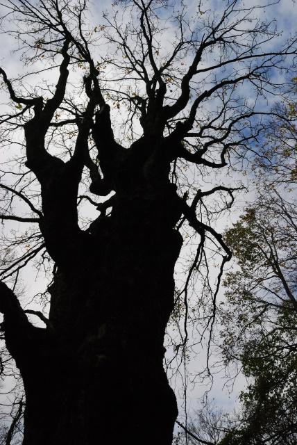 蘇武岳_巨樹の谷_落葉したトチ