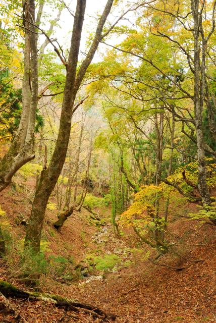蘇武岳_巨樹の谷への登山道