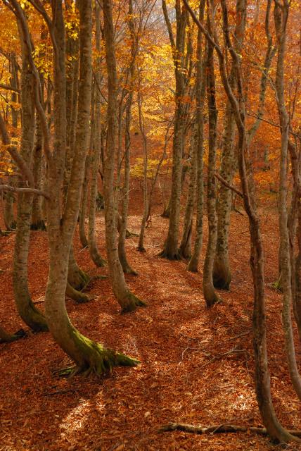 蘇武岳_ブナの森に降り注ぐ日の光