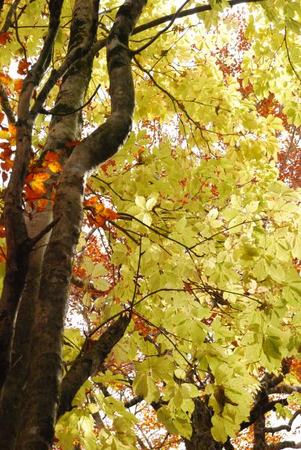 蘇武岳_尾根のブナ林とコシアブラ