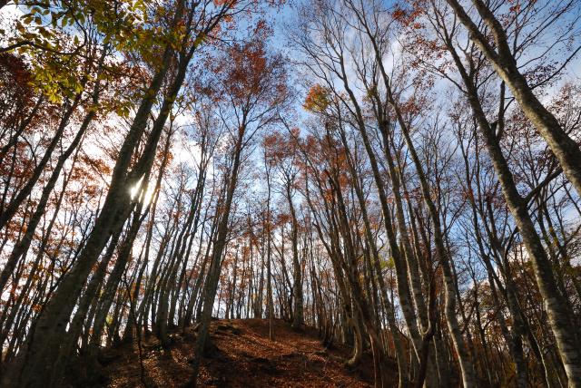 蘇武岳_ブナの森の紅葉