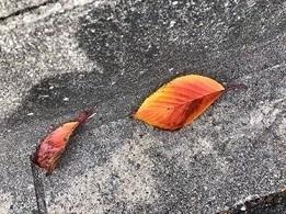 桜の葉っぱ 落葉