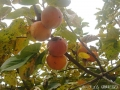 少し落ち着いた柿