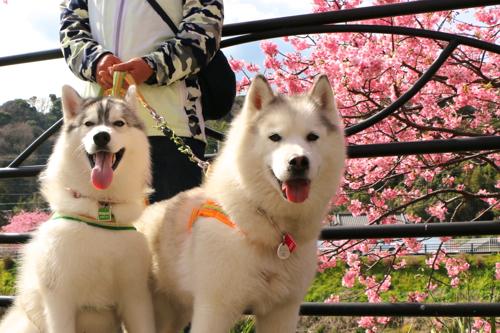 IMG_3160桜