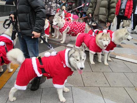 ハスキーズ・クリスマスウォーク2018