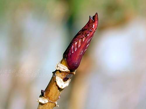 アジサイの冬芽