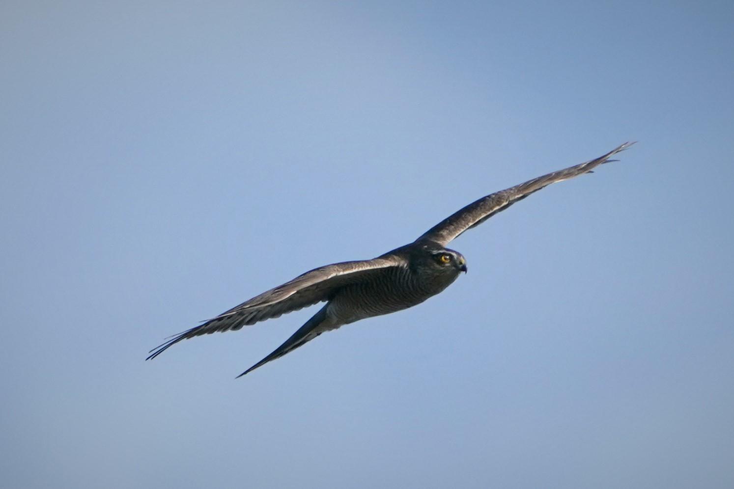 オオタカ幼鳥2