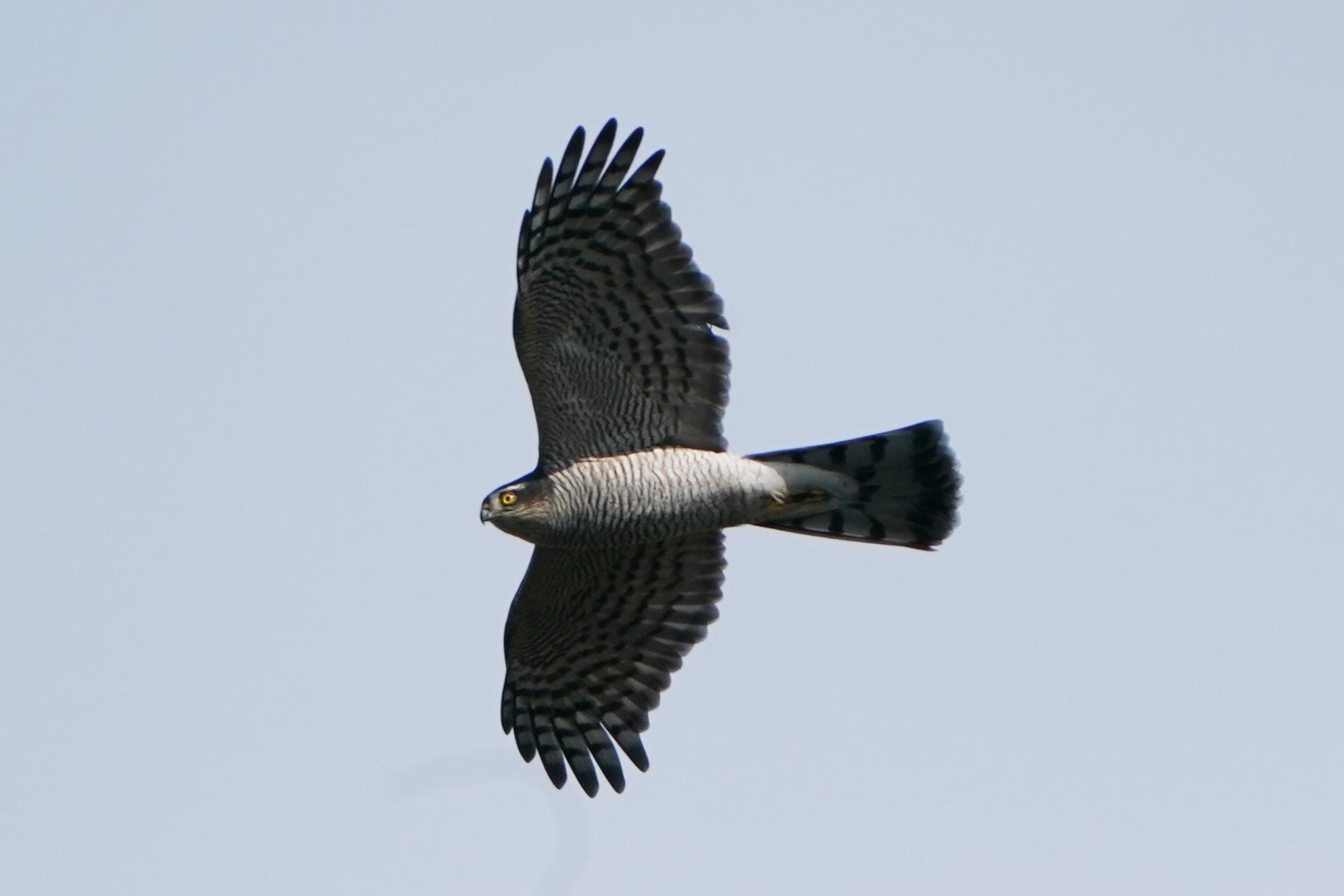 オオタカ幼鳥1