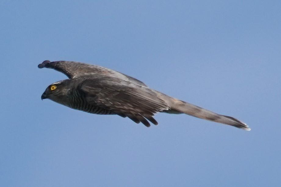 オオタカ幼鳥3