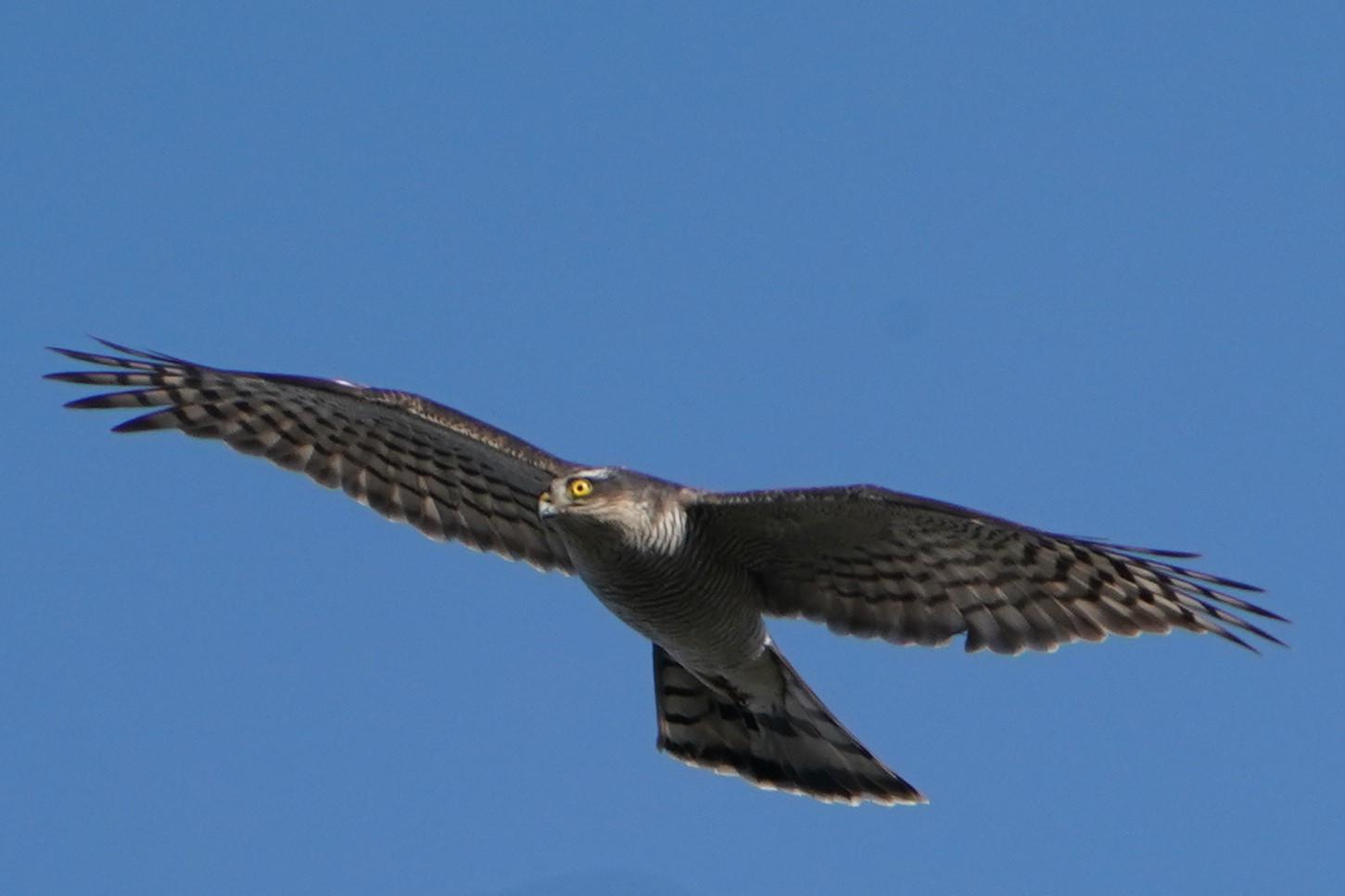 オオタカ幼鳥34