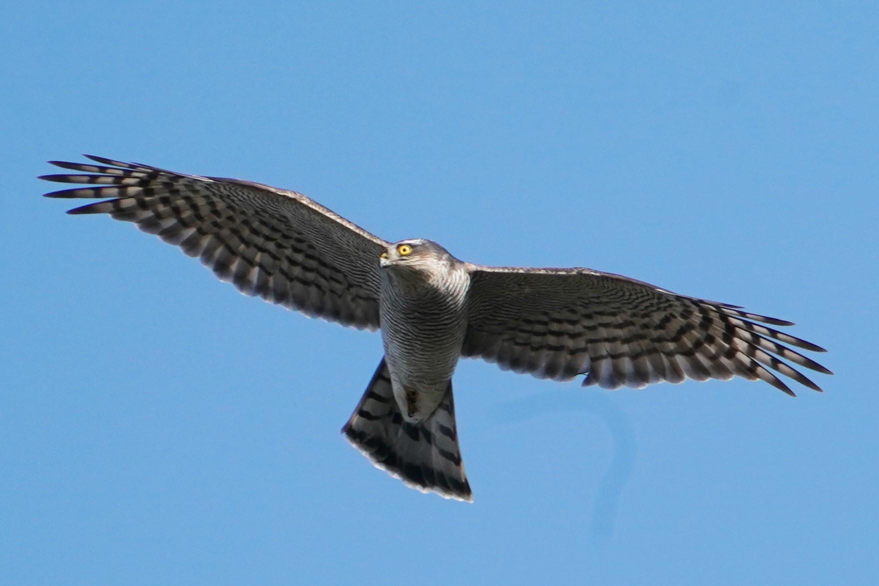 オオタカ幼鳥35
