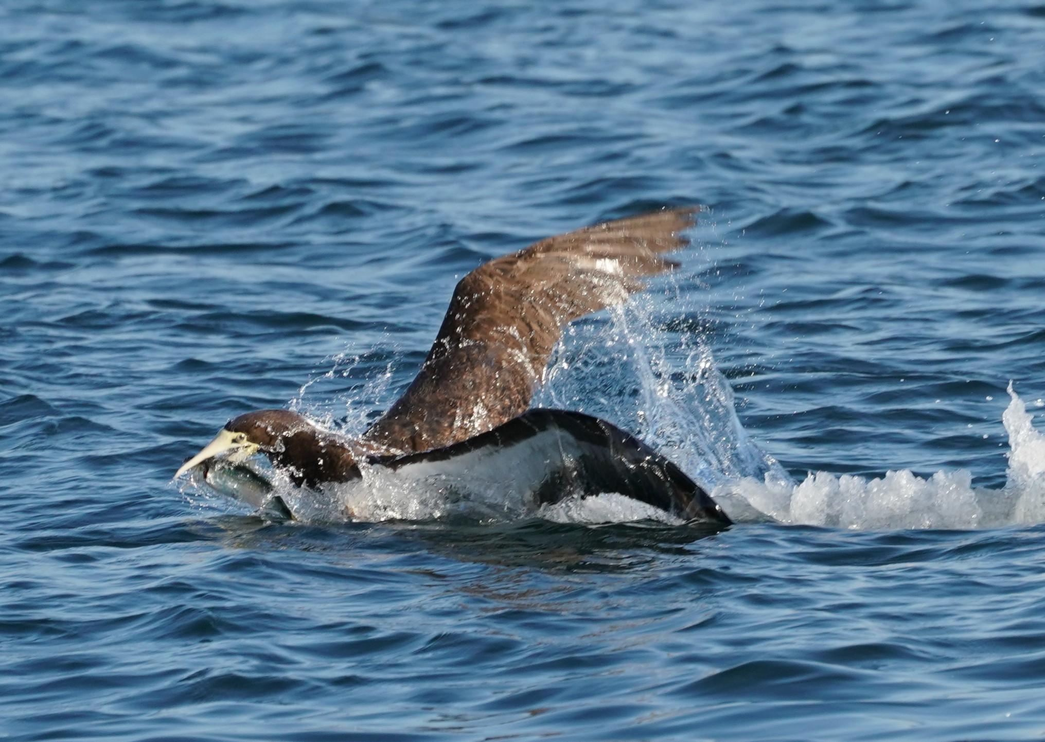 カツオドリ魚ゲット1