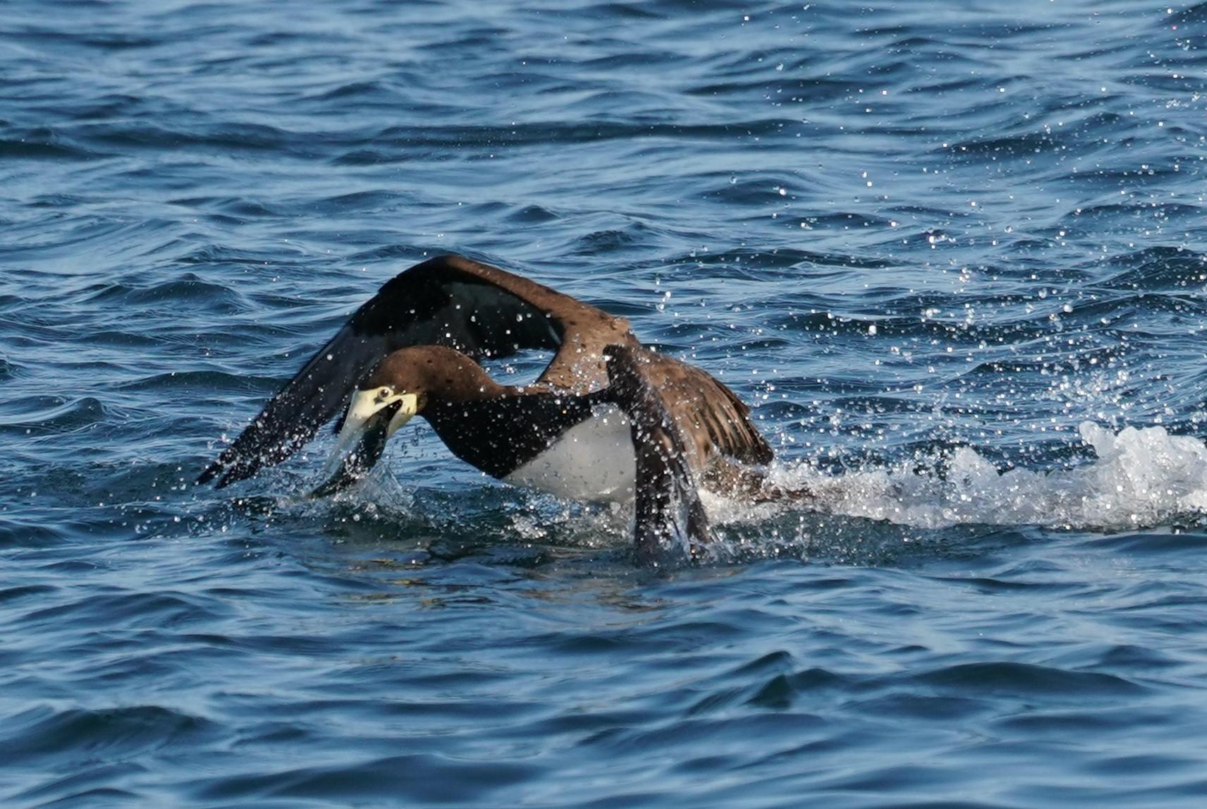 カツオドリ魚ゲット5