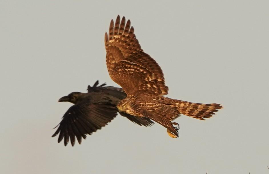 オオタカ幼鳥5