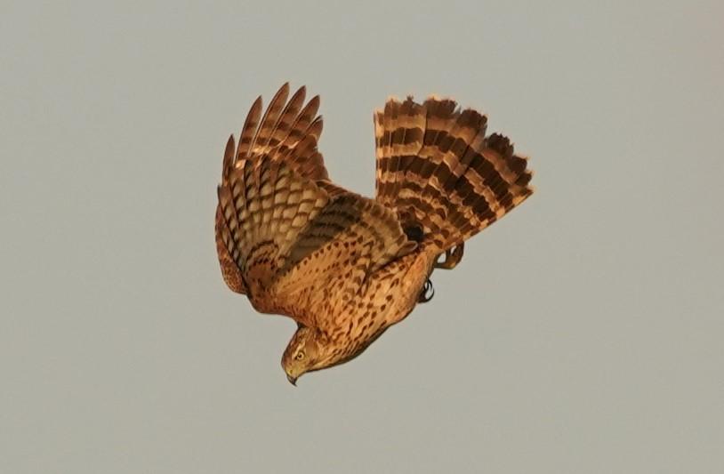 オオタカ幼鳥7