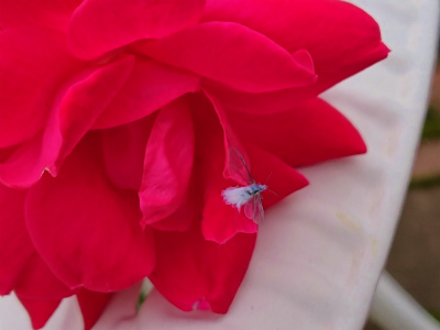 2018年雪虫と薔薇