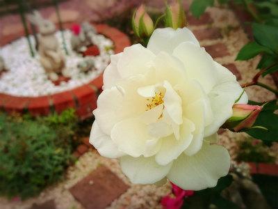 20118年10月薔薇