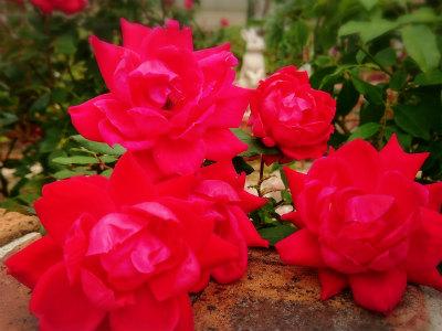 20118年10月薔薇2