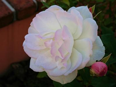 2018年10月後半の薔薇3