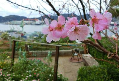 オペラ歌手貞子の桜-crop