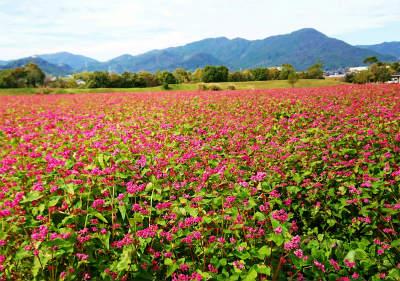 吉野ケ里遺跡赤いそばの花  30日-crop
